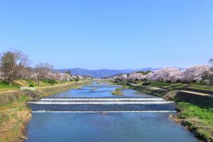賀茂川とサクラの写真素材 [FYI02086942]
