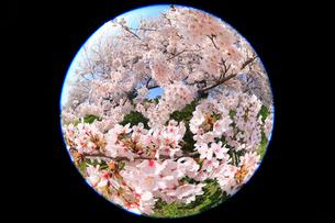 賀茂川堤のサクラと太陽光の写真素材 [FYI02086948]