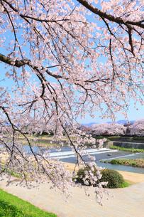 賀茂川とサクラの写真素材 [FYI02086955]