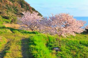 丹後松島のサクラと日本海の写真素材 [FYI02086997]