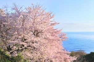 丹後松島のサクラと日本海の写真素材 [FYI02087004]