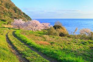 丹後松島のサクラと日本海の写真素材 [FYI02087014]