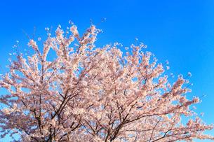 青空とサクラの写真素材 [FYI02087021]