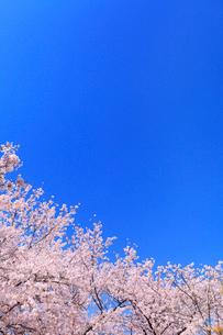 青空とサクラの写真素材 [FYI02087031]
