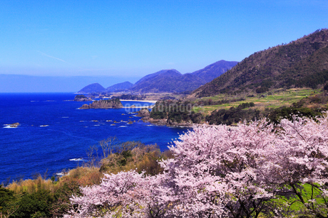 丹後松島のサクラと日本海の写真素材 [FYI02087081]