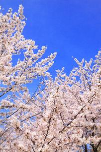 青空とサクラの写真素材 [FYI02087104]