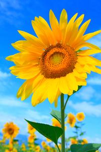 ヒマワリの花と青空の写真素材 [FYI02087170]