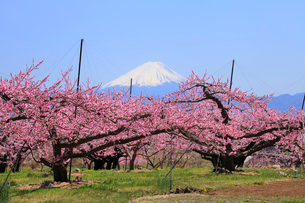 新府桃源郷 桃の花と富士山の写真素材 [FYI02087174]