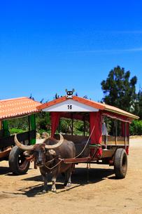 沖縄西表島 由布島の水牛車の写真素材 [FYI02087211]