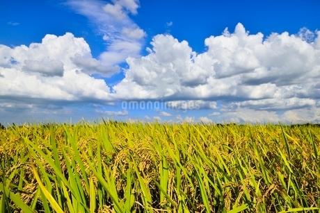 実りの稲田と青空の写真素材 [FYI02087241]