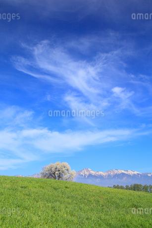 野辺山高原 ヤマナシの木と八ヶ岳の写真素材 [FYI02087468]
