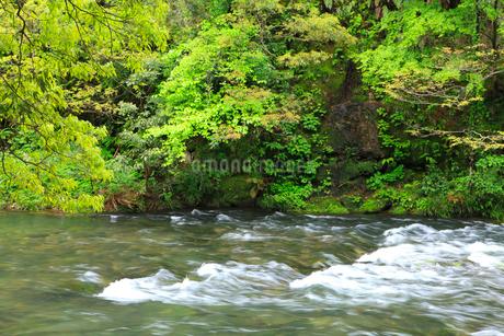 山中温泉 新緑の鶴仙峡の写真素材 [FYI02087532]