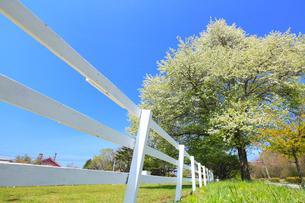 清里高原 白い柵とヤマナシの木の写真素材 [FYI02087550]