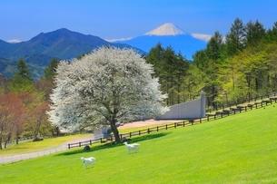 まきば公園 草原にヤマナシの木と富士山の写真素材 [FYI02087655]