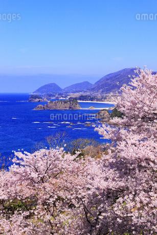 丹後松島のサクラと日本海の写真素材 [FYI02087722]
