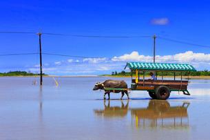 沖縄西表島 由布島の水牛車の写真素材 [FYI02087746]