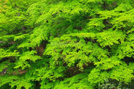 新緑のモミジの写真素材 [FYI02087786]