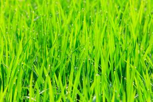 夏の白川郷 水田の稲に朝露の写真素材 [FYI02087803]