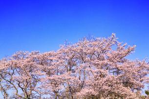 青空とサクラの写真素材 [FYI02087856]
