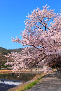 嵐山 渡月橋とサクラの写真素材 [FYI02087872]