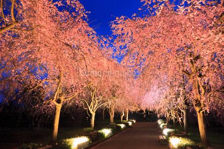 シダレザクラ並木のライトアップ夜景の写真素材 [FYI02087880]