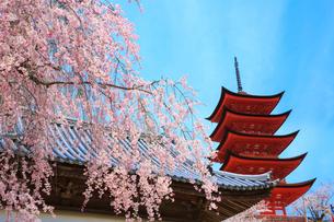 厳島神社 サクラと五重塔の写真素材 [FYI02087918]