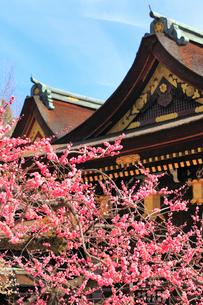 北野天満宮 梅の花の写真素材 [FYI02087951]