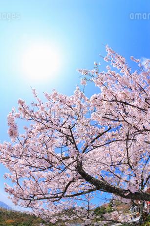 青空に太陽とサクラの写真素材 [FYI02087968]
