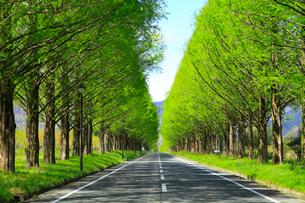 新緑のメタセコイヤ並木の写真素材 [FYI02087975]