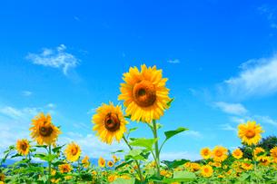 ヒマワリの花と青空の写真素材 [FYI02087997]