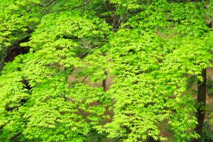 新緑のモミジの写真素材 [FYI02088088]