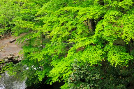 新緑のモミジの写真素材 [FYI02088143]