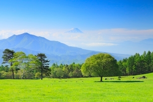 清里高原 新緑の木と富士山の写真素材 [FYI02088173]
