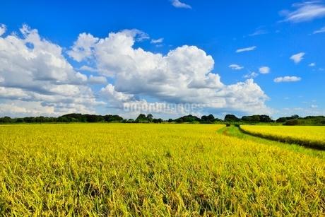 実りの稲田と青空の写真素材 [FYI02088199]