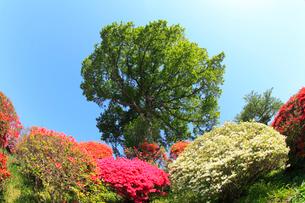鶴峯公園 ツツジと新緑の樹に青空の写真素材 [FYI02088238]