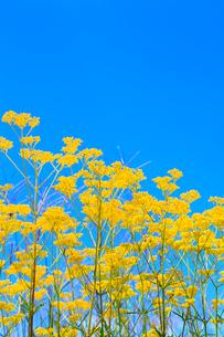 開田高原 オミナエシの花と青空の写真素材 [FYI02088316]
