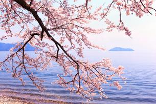 海津大崎のサクラ 琵琶湖と竹生島の写真素材 [FYI02088368]