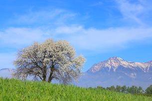 野辺山高原 ヤマナシの木と八ヶ岳の写真素材 [FYI02088393]