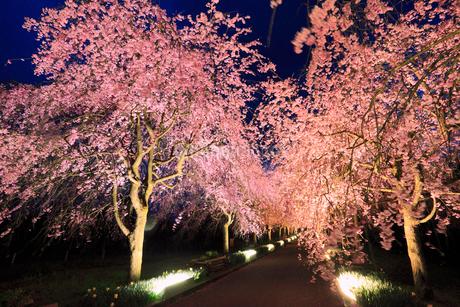 シダレザクラ並木のライトアップ夜景の写真素材 [FYI02088394]
