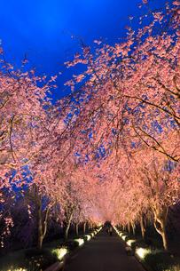 シダレザクラ並木のライトアップ夜景の写真素材 [FYI02088403]