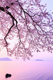 海津大崎のサクラ 朝焼けの琵琶湖と竹生島の写真素材 [FYI02088429]