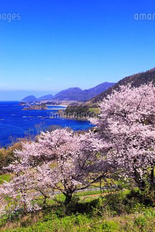 丹後松島のサクラと日本海の写真素材 [FYI02088447]