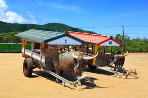 沖縄西表島 由布島の水牛車の写真素材 [FYI02088455]