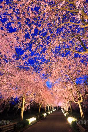 シダレザクラ並木のライトアップ夜景の写真素材 [FYI02088458]