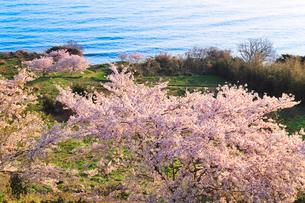 丹後松島のサクラと日本海の写真素材 [FYI02088496]