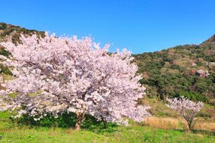 丹後松島のサクラの写真素材 [FYI02088497]