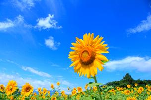 ヒマワリの花と青空の写真素材 [FYI02088502]