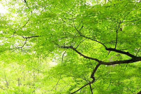 新緑のモミジの写真素材 [FYI02088514]
