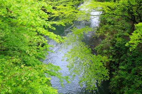 山中温泉 新緑の鶴仙峡の写真素材 [FYI02088595]