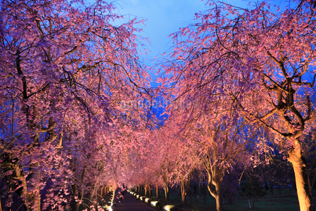 シダレザクラ並木のライトアップ夜景の写真素材 [FYI02088624]